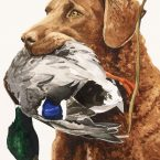 Chessie with Mallard