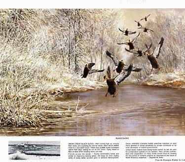 Beecham Black Ducks Print