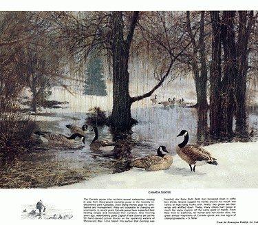 Beecham Canada Goose Print