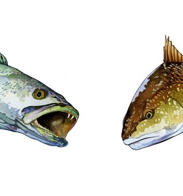Sea Trout and Redfish Heads