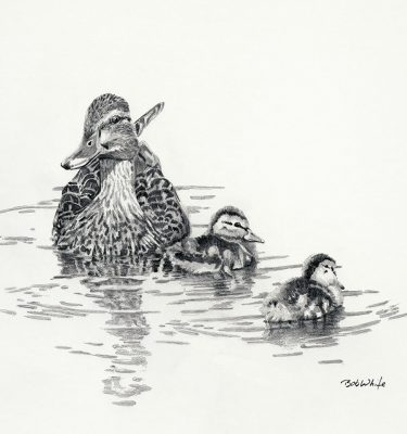 Mallard Brood - Neighborhood Ducks